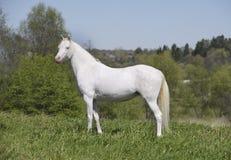 Cremello weißes Pferd Stockfotografie
