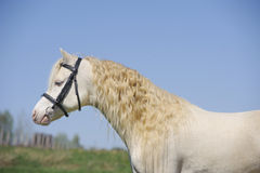Cremello welsh mountain pony stallion Stock Photography