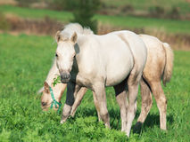 Cremello  welsh  ponies foal in the pasture Royalty Free Stock Photo