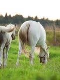 Cremello welsh ponnyföl med mamman. Arkivbilder