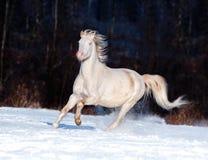 Cremello welsh ponnykörningar frigör i vinter Royaltyfri Fotografi