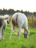 Cremello  welsh  pony  foal with mom. Stock Images