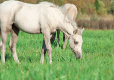 Cremello  welsh  pony  foal in the pasture Royalty Free Stock Images