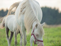Cremello  welsh  pony  mare with her foal Royalty Free Stock Photography
