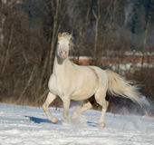 Cremello welsh pony in winter field Stock Images