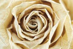 Cremoso secado subió Foto de archivo libre de regalías