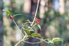 Crenata Ardisia (Myrsinaceae) Στοκ Φωτογραφία