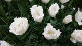 Crenated white tulips Stock Photography