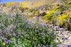 Crenulatawildflowers die van Phaceliaphacelia in het Park van de de Woestijnstaat van Anza Borrego tijdens een de lente super blo stock afbeeldingen