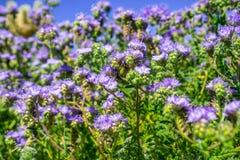 Crenulatawildflowers die van Phaceliaphacelia in het Park van de de Woestijnstaat van Anza Borrego tijdens een de lente super blo stock foto's