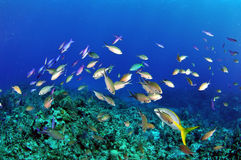 Creole Wrasse on the Reef Stock Photo