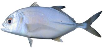 Creolefish atlantico royalty illustrazione gratis