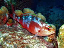 Creolefish in Bonaire National Marine Park, Caribbean Netherlands Antilles Royalty Free Stock Photos