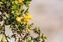 Creosote bush Larrea tridentata blooming in Anza-Borrego Desert State Park, south California royalty free stock photography
