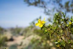 Creosote bush Larrea tridentata blooming in Joshua Tree National Park, California stock photo