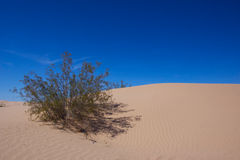 Creosote Bush and Sand Dunes Royalty Free Stock Image