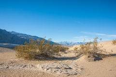 Creosote in Death Valley Royalty Free Stock Image