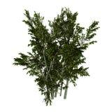 creosoto Bush da rendição 3D no branco Imagens de Stock