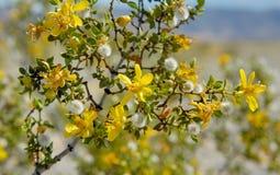 Creosoto Bush que floresce no Death Valley Imagens de Stock