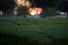 Crepúsculo de la puesta del sol del jardín de la hierba verde imagen de archivo