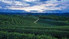Crepúsculo em plantações de chá, Tailândia imagens de stock