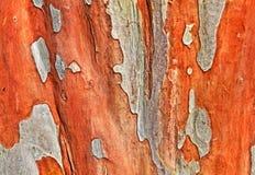 Crepé Myrtle Bark de Natchez Imagenes de archivo