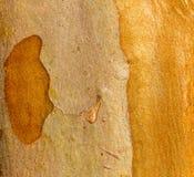 Crepé Myrtle Bark del Tuscarora Fotos de archivo