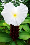 Crepe το λουλούδι πιπεροριζών, speciosus Costus Στοκ Εικόνες