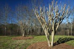 Crepe Миртл в предыдущей весне Стоковые Изображения