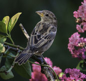Crepe Миртл зяблика дома весной Стоковые Фотографии RF