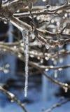 Crepe Myrtle ο πάγος Στοκ φωτογραφίες με δικαίωμα ελεύθερης χρήσης