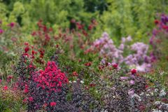 Crepe Myrtle background with in focus flowers and trees in foreground and blurred flowers in back - room for copy. A Crepe Myrtle background with in focus royalty free stock images