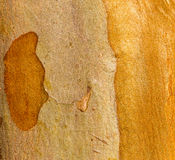 Crepe Myrtle Bark do Tuscarora Fotos de Stock