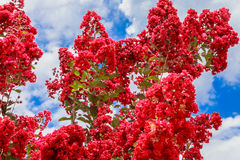 Crepe Myrtle In Bloom. A crepe myrtle tree in bloom in the southern USA stock image