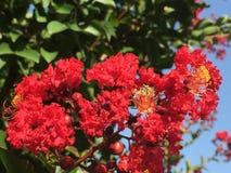 Crepe Myrtle Blossom Imagem de Stock