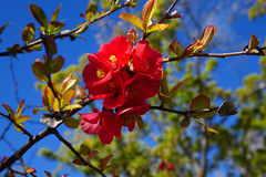Crepe Myrtle Blossom. A beautiful, red Crepe Myrtle Blossom is shown against a blue Idaho sky in spring time stock images