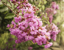 Crepe myrtle blossom in sunlight Royalty Free Stock Photos
