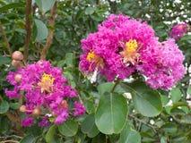 Crepe Myrtle de la lila con las flores fotografía de archivo libre de regalías