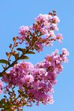 Crepe myrtle flower. Closeup pink Crape myrtle flower (Lagerstroemia indica) on blue sky background royalty free stock photo