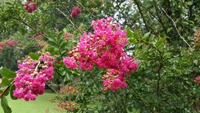 Crepe Myrtle Flowers Close Up - Lagerstroemia. Crepe Myrtle flowering shrub displaying blooms in public park in Ellijay Georgia. Lagerstroemia commonly known as royalty free stock images