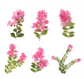 Crepe myrtle flowers Royalty Free Stock Image
