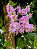 Crepe Myrtle (Gen; Lagerstroemia) Stock Images