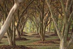Crepe Myrtle Grove #1 Stock Photos