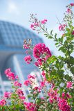 Crepe Myrtle Lagerstroemia with Downtown Office Building in Background Stock Photo