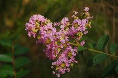 Crepe Myrtle (Lagerstroemia indica) Royalty Free Stock Photos