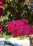 Crepe myrtle, Lagerstroemia indica Royalty Free Stock Photo