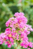 Crepe myrtle, lagerstroemia indica Stock Photo