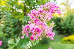 Crepe myrtle, lagerstroemia indica. Lagerstroemia indica crape myrtle, crepe myrtle, crepeflower is a species in the genus Lagerstroemia in the family Lythraceae royalty free stock images