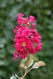 Crepe Myrtle or Lagerstroemia indica tree plant with single branch full of open blooming dark pink flowers surrounded with leaves. Crepe Myrtle or Lagerstroemia stock photo