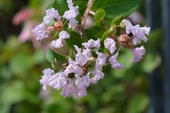 Crepe myrtle With Love Babe. Latin name - Lagerstroemia indica With Love Babe royalty free stock images
